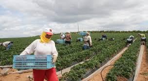 العاملات الزراعيات بلالة ميمونة
